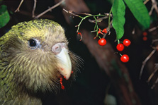 Kakapo eating supplejack berries T. de Roy/DOC, licensed under CC BY 4.0